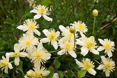 Goleta - Springtime wild flowers along West Camino Cielo, Santa Ynez Mountains