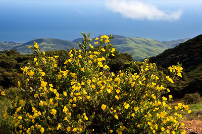 Goleta - Springtime wild flowers along West Camino Cielo, Santa Ynez Mountains.  Bush poppy