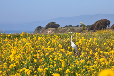 Goleta - Santa Barbara Shores County Park/Ellwood Mesa.  Great egret in wild mustard patch.