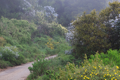 Goleta - Springtime wild flowers along West Camino Cielo, Santa Ynez Mountains