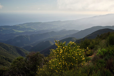 Goleta - Springtime wild flowers along West Camino Cielo, Santa Ynez Mountains.  Bush poppy in foreground, Goleta Valley below.