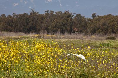 Goleta - Santa Barbara Shores County Park/Ellwood Mesa.  Great egret in wild mustard patch.