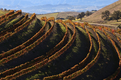 Vineyard fall color, Santa Ynez Valley