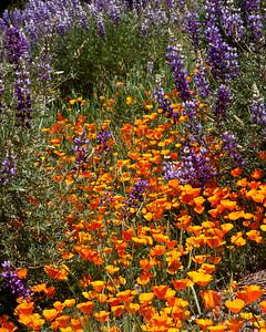 San Rafael Wilderness - Figueroa Mountain, Los Padres National Forest, Springtime wildflowers
