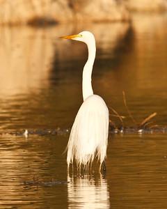 Goleta Slough/Goleta Beach County Park - Great egret at sunset