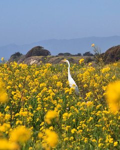 Goleta - Santa Barbara Shores County Park/Ellwood Mesa. Great egret.
