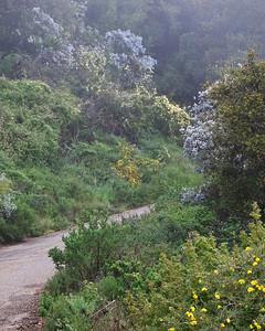 Goleta - Springtime flowers along West Camino Cielo, Santa Ynez Mountains.