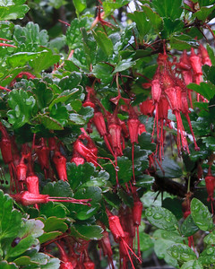 Goleta - Springtime along West Camino Cielo, Santa Ynez Mountains.  Fuchsia-flowered gooseberry