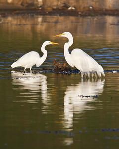 Goleta Slough/Goleta Beach County Park - Great egrets at sunset