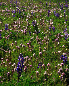 Goleta Valley - Pasture with lupine and owls clover.