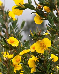 Goleta - West Camino Cielo, Santa Ynez Mountains, Springtime flowers.  Bush Poppy