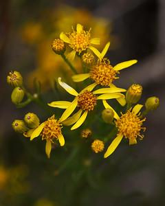 Guadalupe - Flower, Guadalupe-Nipomo Dunes National Wildlife Refuge