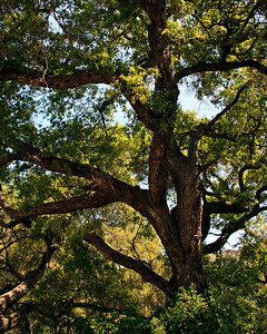 Goleta Valley - Oak tree.