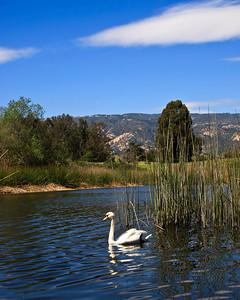 Goleta - Mute swan at Lake Los Carneros City Park