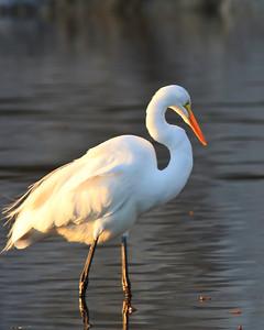Goleta Slough/Goleta Beach County Park - Great egret