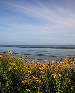 Goleta - Wildflowers at Coal Oil Point.