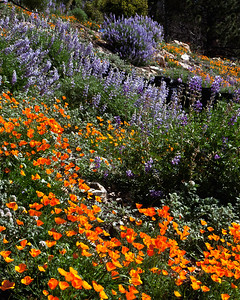 San Rafael Wilderness - Figueroa Mountain, Los Padres National Forest, Springtime wildflowers