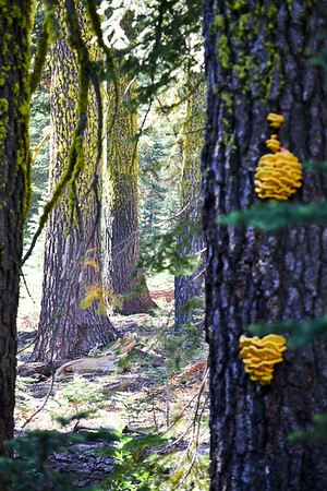Granite Chief Wilderness - Picayune Trail.  These bright yellow fungi appeared as lanterns marking the way.   Visible from quite a distant, the yellowness is a like a beacon, a marker on the trail.