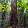 Healdsburg California, Armstrong Wedwoods State Natural Reserve,  Parson Jones Redwood Tree