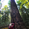 Healdsburg California, Armstrong Redwoods State Park, Parson Jones Redwood