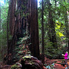 Healdsburg California, Armstrong Redwoods State Park, Giant Redwood