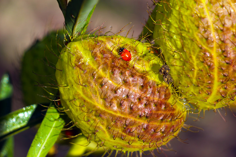 Dragonfly Florals, Lady Bug on Prickly Pear