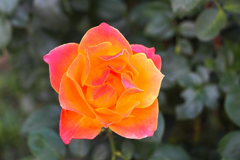 Dragonfly Florals, Orange Rose