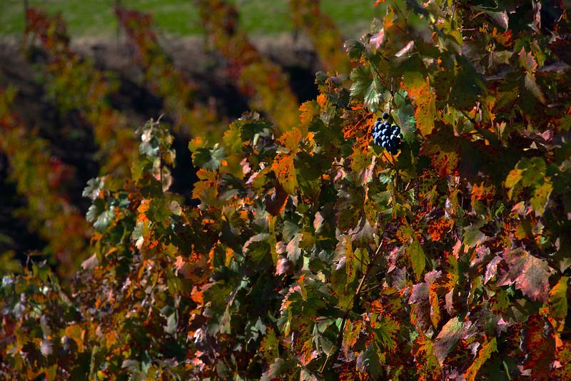 Trattore Farms,  Harvest Grapes