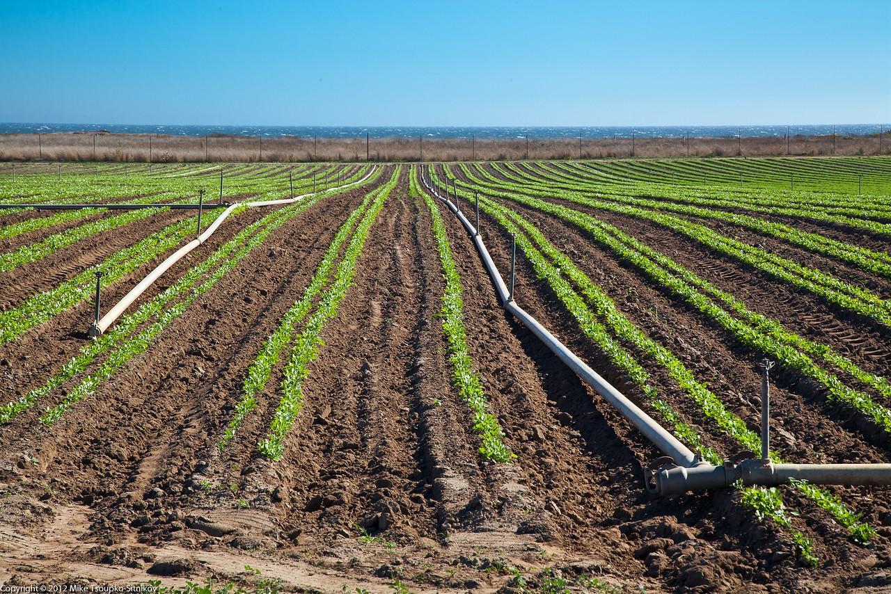 Brussels Sprouts  Field near Wilder Ranch