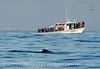 Humpback whales, Monterey CA (22)