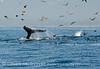 Humpback whales, Monterey CA (67)