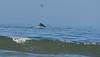 Humpback whale, Oceano Dunes Beach CA (2)