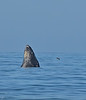 Humpback whale, Oceano Dunes Beach CA (12)