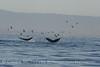 Humpback whales, Monterey CA (40)