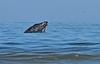 Humpback whale, Oceano Dunes Beach CA (3)