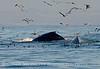 Humpback whales, Monterey CA (53)