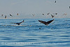 Humpback whales, Monterey CA (39)
