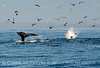 Humpback whales, Monterey CA (68)