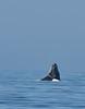 Humpback whale, Oceano Dunes Beach CA (15)