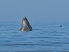 Humpback whale, Oceano Dunes Beach CA (11)