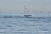 Humpback whales, Monterey CA (54)