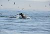 Humpback whales, Monterey CA (75)