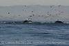 Humpback whales, Monterey CA (73)