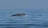 Humpback whale, Oceano Dunes Beach CA (4)