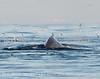 Humpback whales, Monterey CA (29)