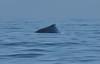 Humpback whale, Oceano Dunes Beach CA (16)