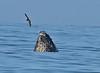 Humpback whale, Oceano Dunes Beach CA (14)