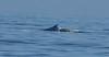 Humpback whale, Oceano Dunes Beach CA (1)