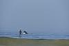 Humpback whale, Oceano Dunes Beach CA (5)