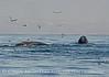 Humpback whales, Monterey CA (32)